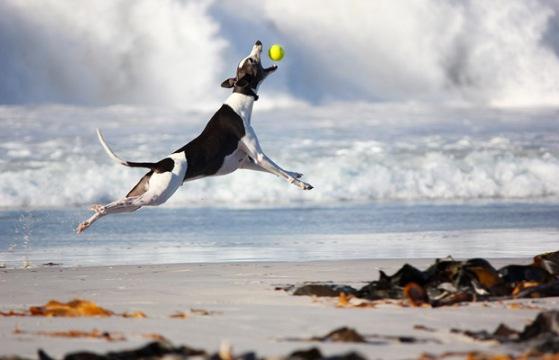 Greyhound dog catching ball